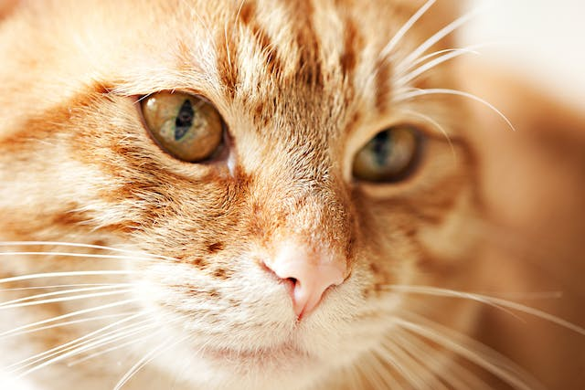 Uterine Tumors in Cats - Symptoms, Causes, Diagnosis, Treatment, Recovery, Management, Cost