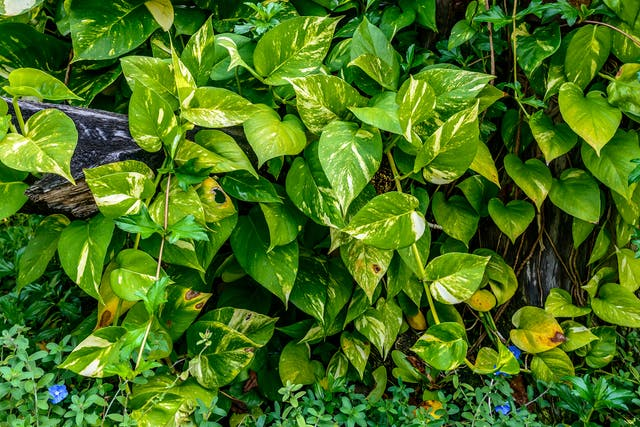Variegated Philodendron Poisoning in Cats - Symptoms, Causes, Diagnosis, Treatment, Recovery, Management, Cost