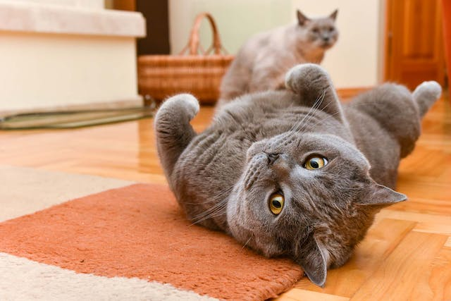 Vertebral Disc Inflammation in Cats - Symptoms, Causes, Diagnosis, Treatment, Recovery, Management, Cost