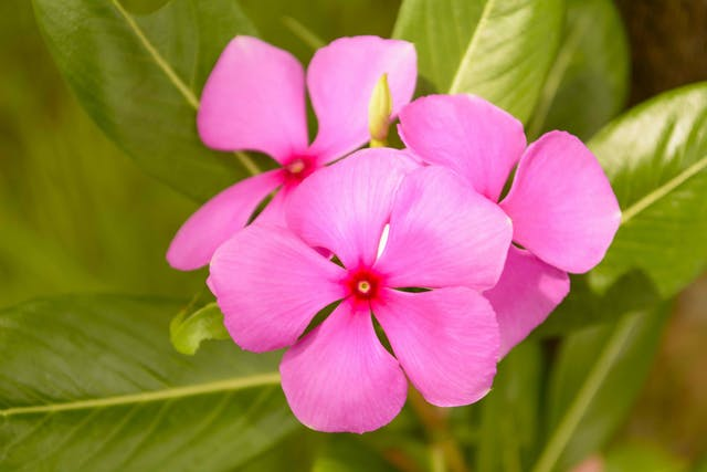 Vinca Poisoning in Cats - Symptoms, Causes, Diagnosis, Treatment, Recovery, Management, Cost