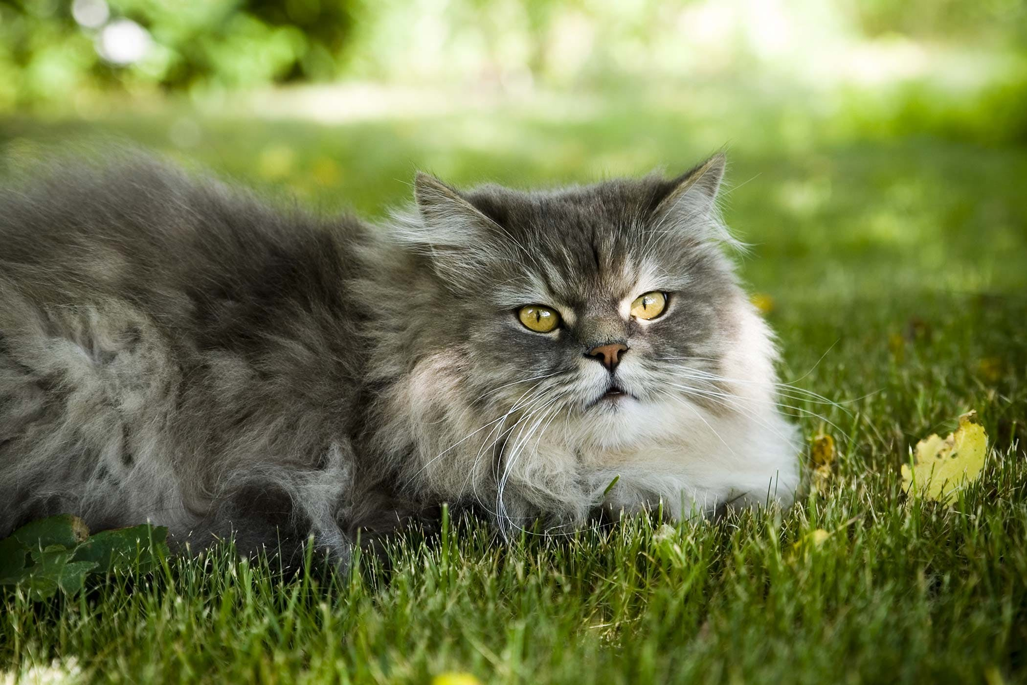 Wart Virus in Cats - Symptoms, Causes, Diagnosis, Treatment