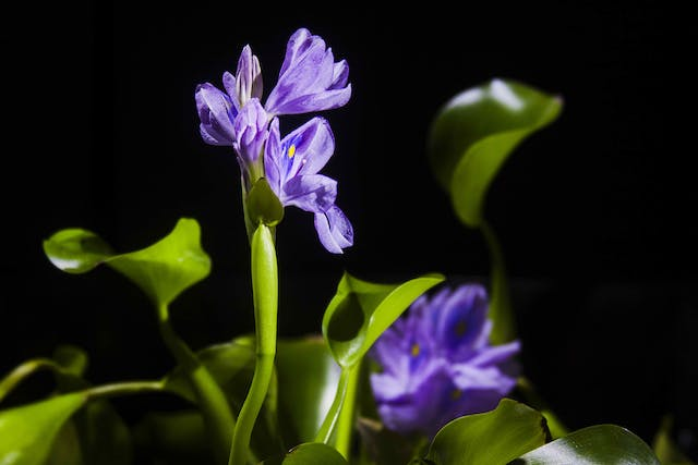 Water Hyacinth Poisoning in Cats - Symptoms, Causes, Diagnosis, Treatment, Recovery, Management, Cost