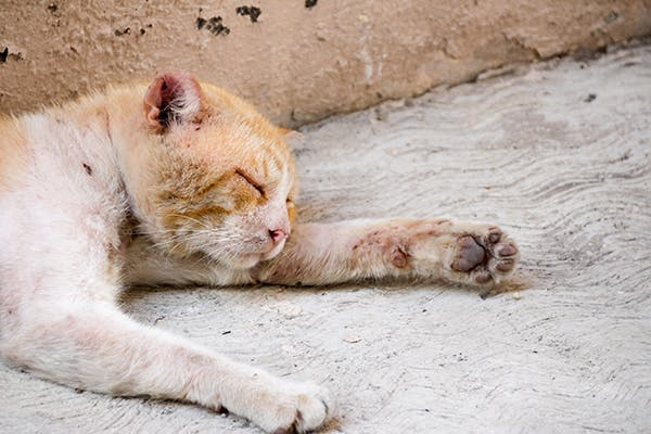 Water Mold Infection in Cats - Symptoms, Causes, Diagnosis, Treatment, Recovery, Management, Cost
