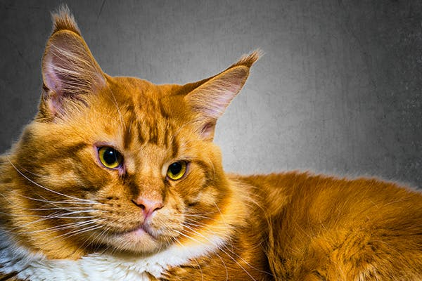 Water on the Brain in Cats - Symptoms, Causes, Diagnosis, Treatment, Recovery, Management, Cost