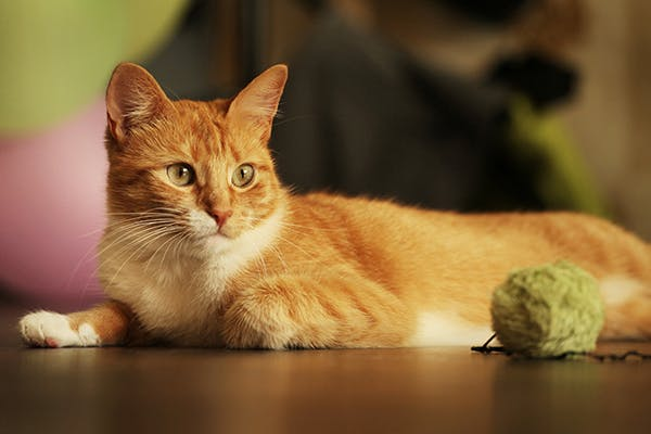 Weight Loss and Chronic Disease in Cats - Symptoms, Causes, Diagnosis, Treatment, Recovery, Management, Cost