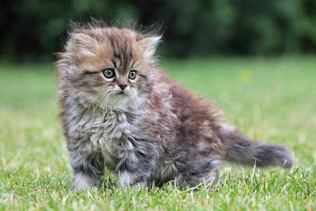 Whitmore's Disease in Cats - Symptoms, Causes, Diagnosis, Treatment, Recovery, Management, Cost