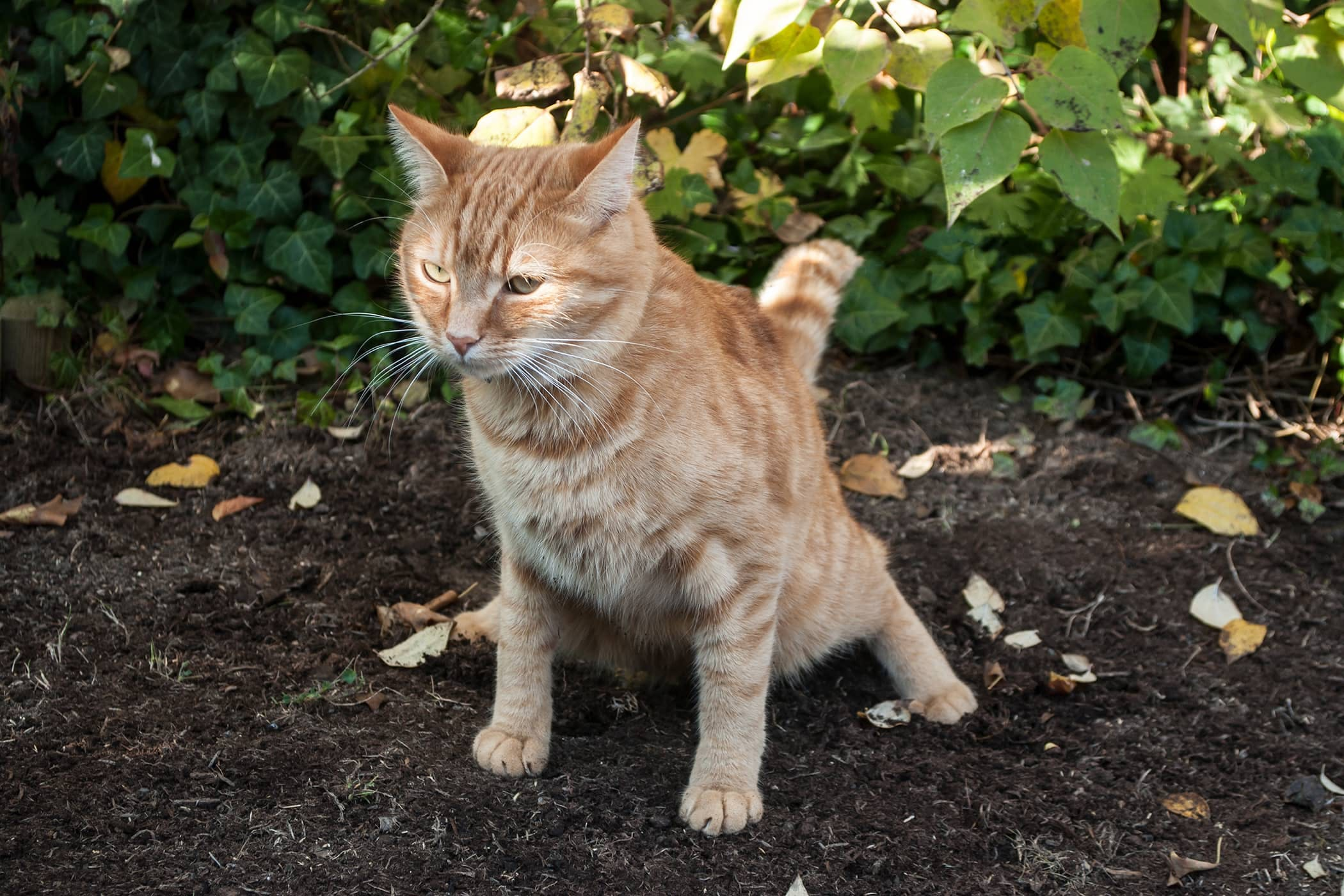 Constipated In Cats Definition Cause Solution Prevention Cost