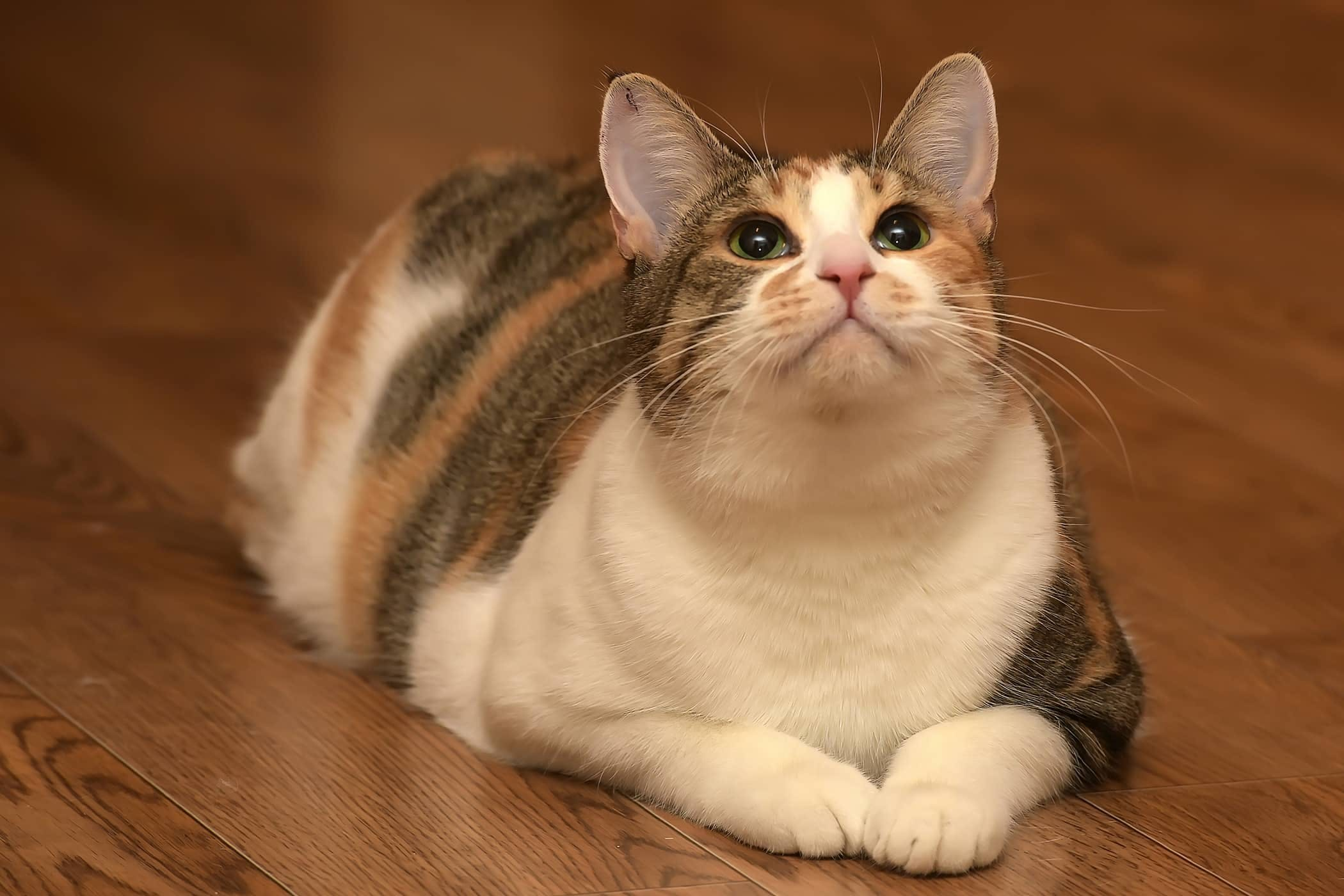 Gaining Weight in Cats - Definition, Cause, Solution, Prevention, Cost