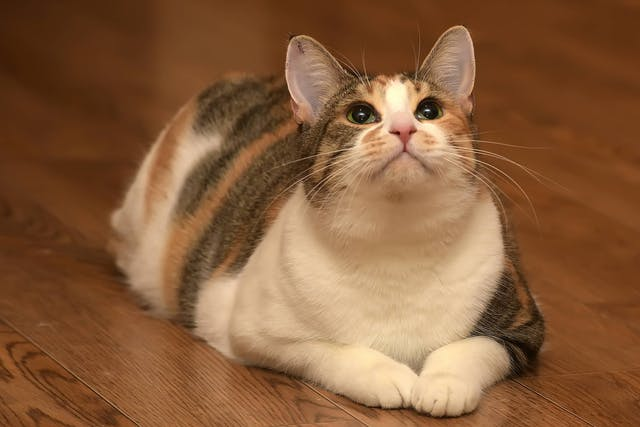 Why is my cat gaining weight?
