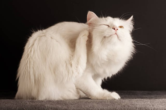 Why is my cat itchy?