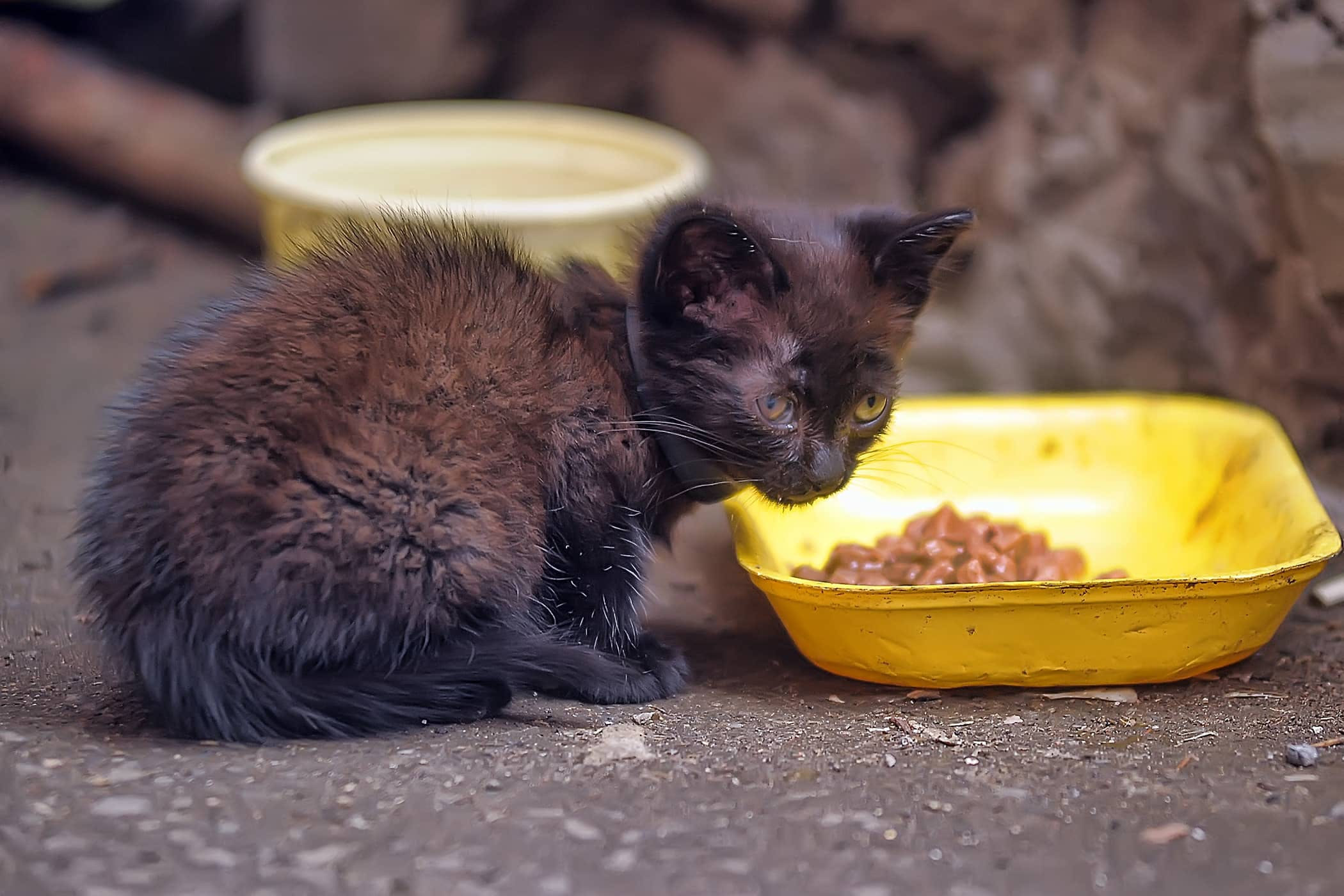 Not Eating In Cats Definition Cause Solution