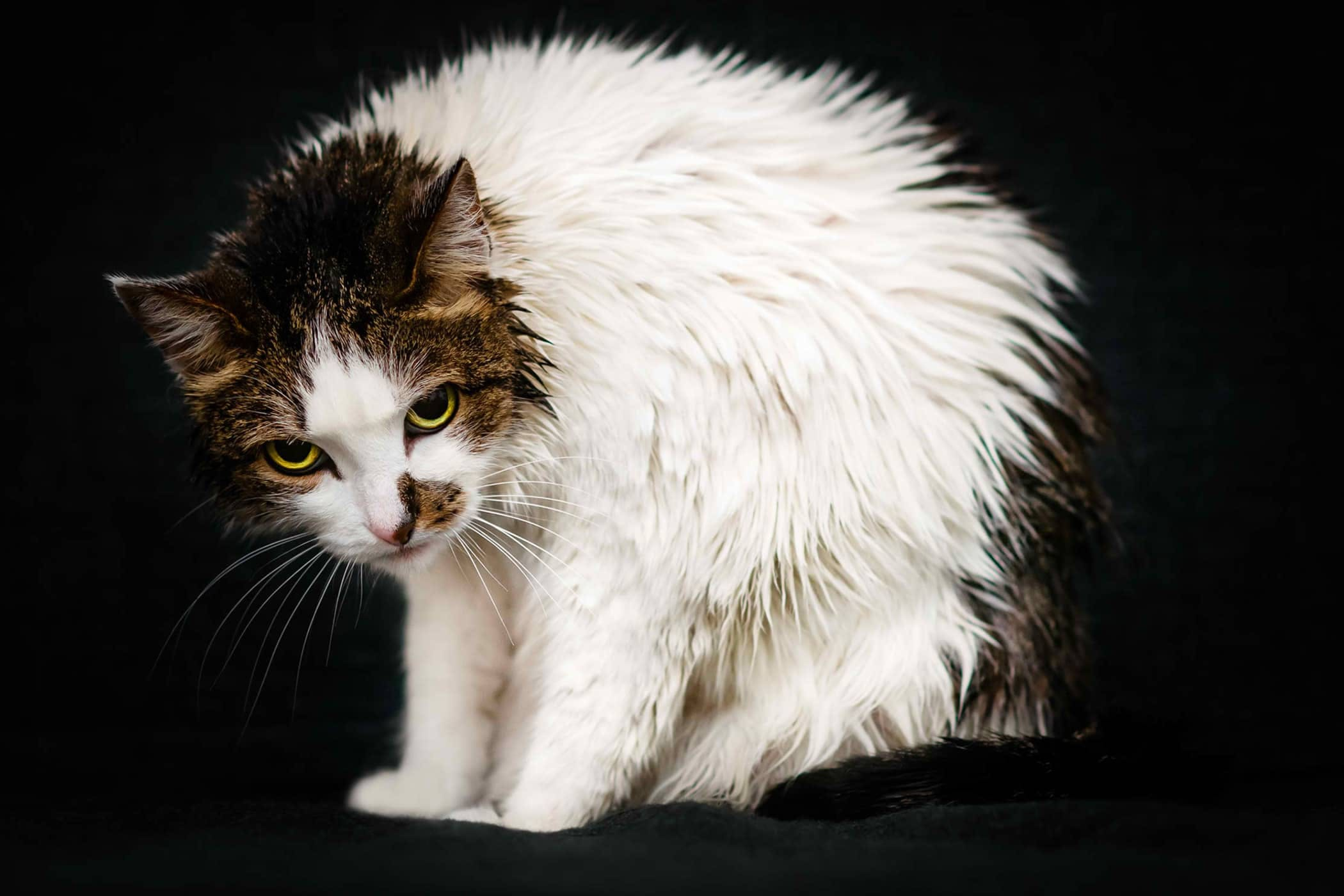 Trembling in Cats - Definition, Cause, Solution, Prevention