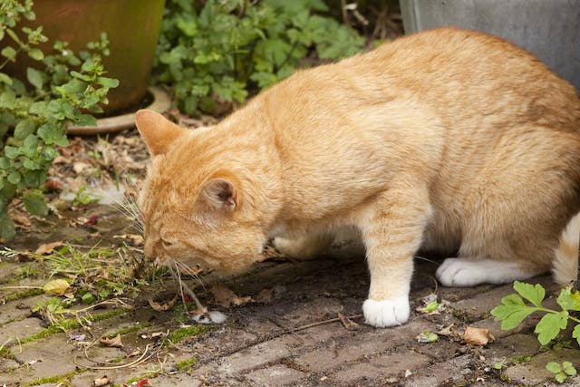 Why is my cat vomiting?