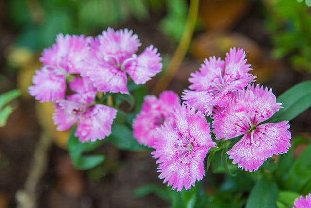 Wild Carnation Poisoning in Cats - Symptoms, Causes, Diagnosis, Treatment, Recovery, Management, Cost