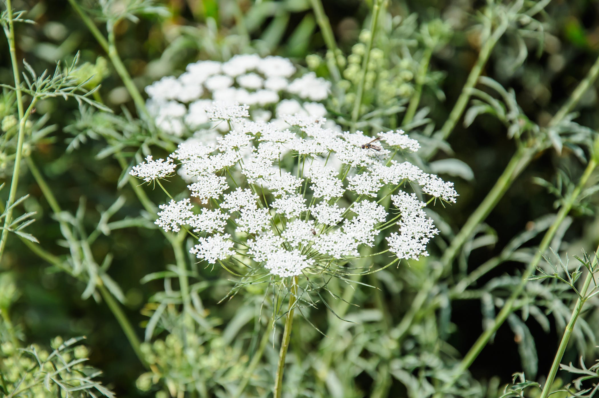 Wild Carrot Poisoning In Cats Symptoms Causes