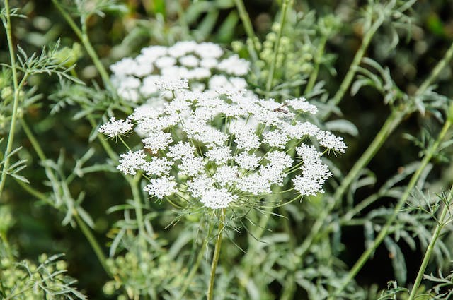 Wild Carrot Poisoning in Cats - Symptoms, Causes, Diagnosis, Treatment, Recovery, Management, Cost