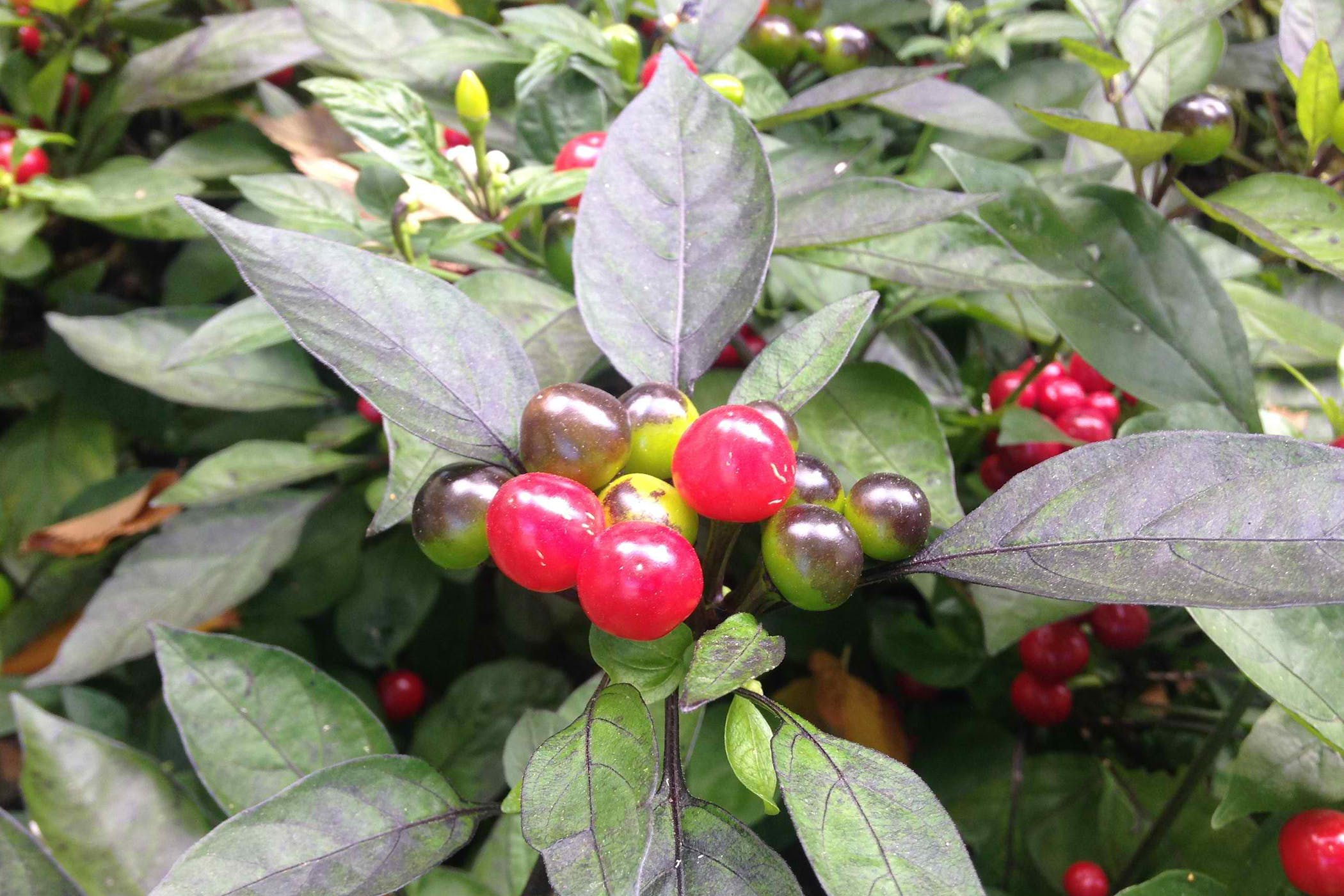 Winter Cherry Poisoning In Cats Symptoms Causes