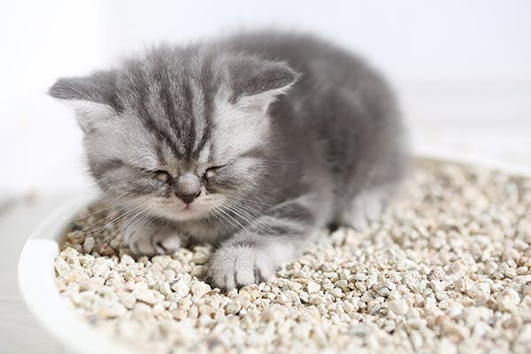 Xanthine Urinary Tract Stones in Cats - Symptoms, Causes, Diagnosis, Treatment, Recovery, Management, Cost