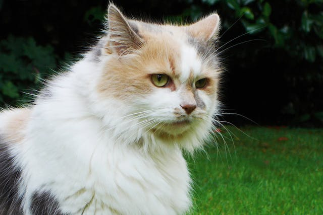 Yeast Allergy in Cats - Symptoms, Causes, Diagnosis, Treatment, Recovery, Management, Cost