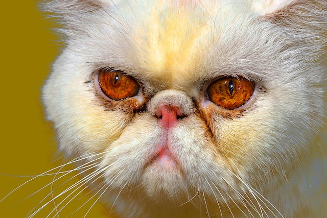 Yellow Fat Disease in Cats - Symptoms, Causes, Diagnosis, Treatment, Recovery, Management, Cost