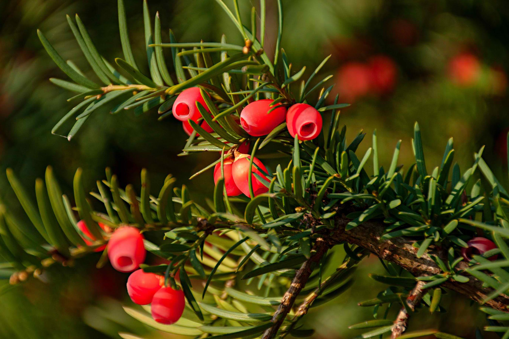 Yew Poisoning In Cats Symptoms Causes Diagnosis Treatment