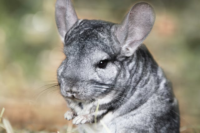 Abscesses in Chinchillas - Symptoms, Causes, Diagnosis, Treatment, Recovery, Management, Cost