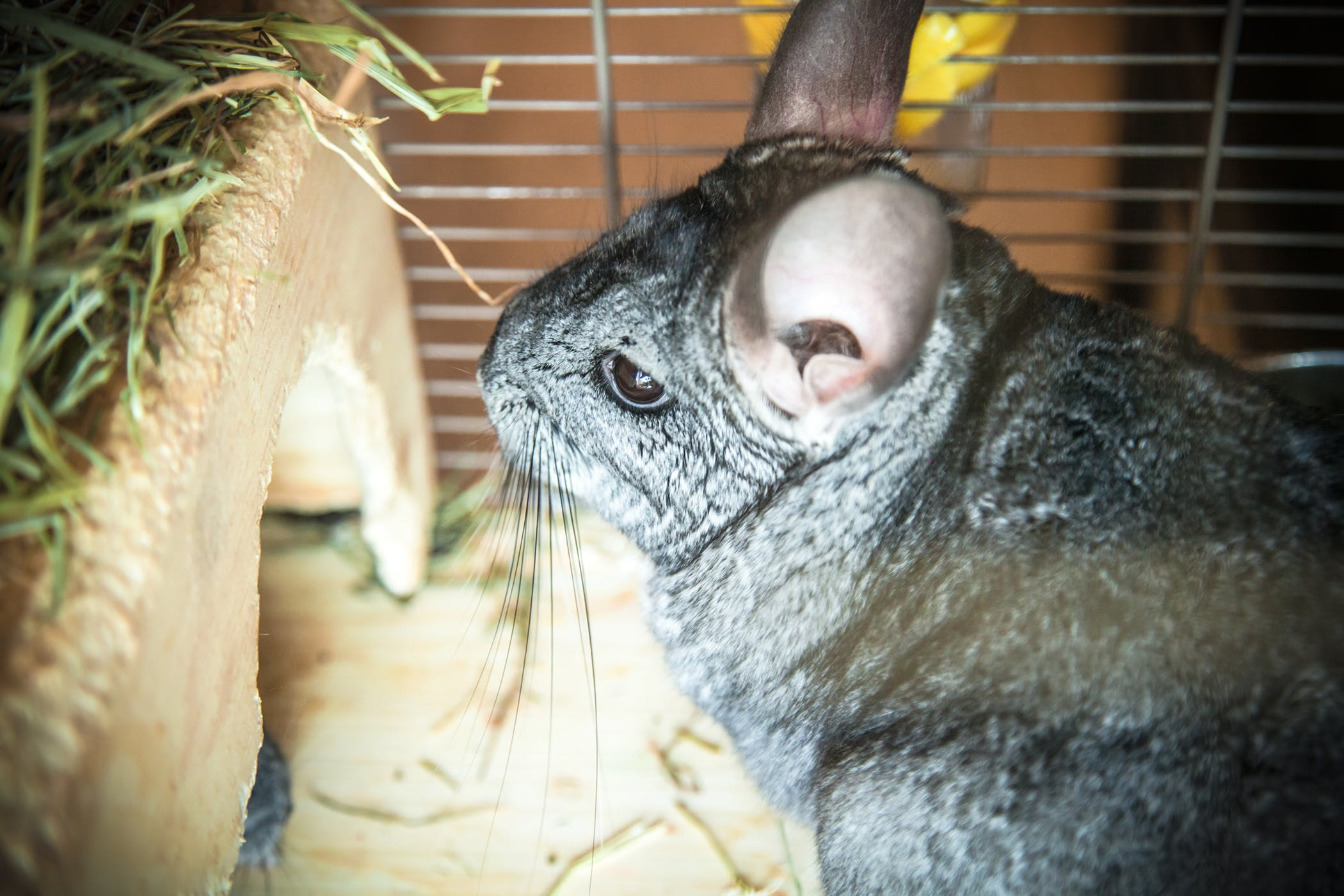 Bacteria in the Blood in Chinchillas