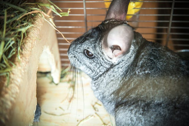 Bacteria in the Blood in Chinchillas - Symptoms, Causes, Diagnosis, Treatment, Recovery, Management, Cost