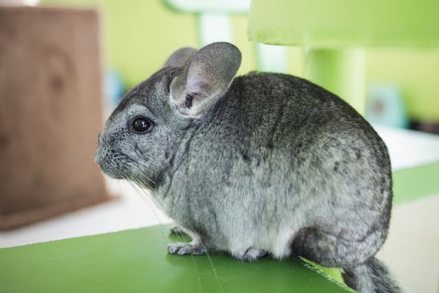 Bloating in Chinchillas - Symptoms, Causes, Diagnosis, Treatment, Recovery, Management, Cost