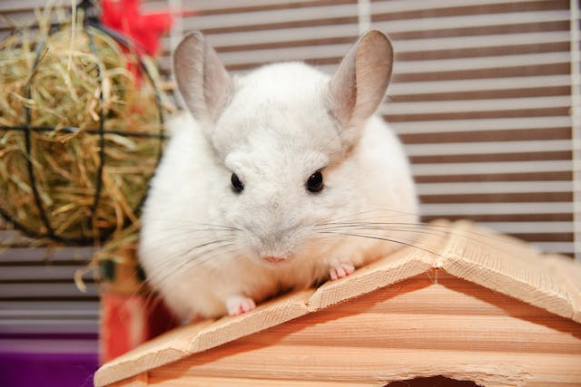 Calcium-Phosphorus Imbalance in Chinchillas - Symptoms, Causes, Diagnosis, Treatment, Recovery, Management, Cost