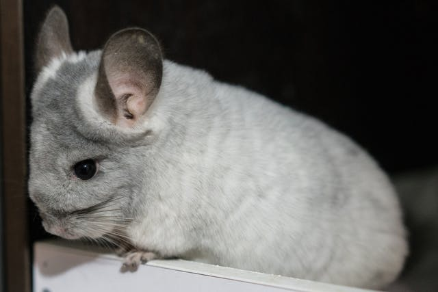 Diarrhea in Chinchillas - Symptoms, Causes, Diagnosis, Treatment, Recovery, Management, Cost