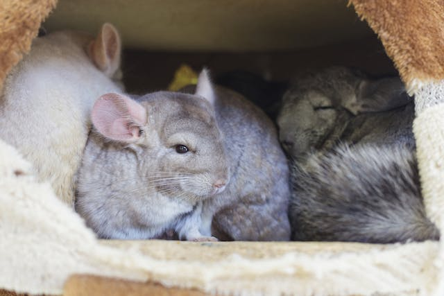 Difficulty Giving Birth in Chinchillas - Symptoms, Causes, Diagnosis, Treatment, Recovery, Management, Cost