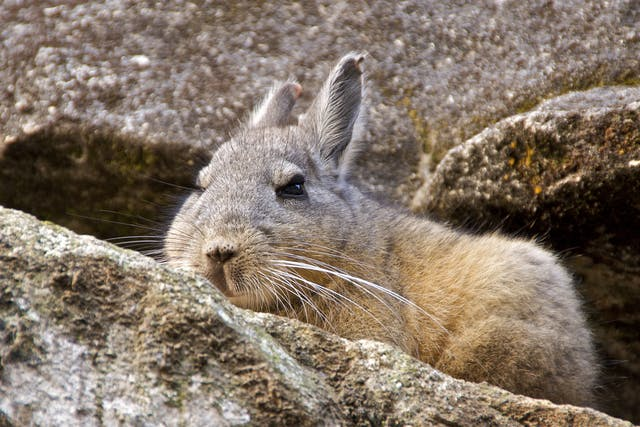 Herpes Virus Infection in Chinchillas - Symptoms, Causes, Diagnosis, Treatment, Recovery, Management, Cost