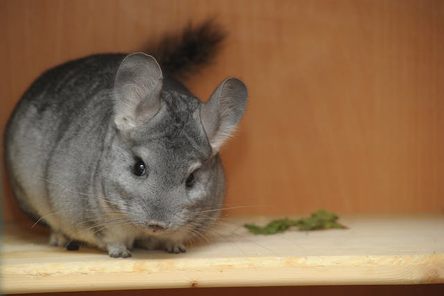 Infection and Inflammation of the Uterus in Chinchillas - Symptoms, Causes, Diagnosis, Treatment, Recovery, Management, Cost