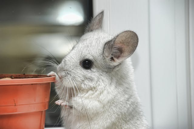Listeriosis in Chinchillas - Symptoms, Causes, Diagnosis, Treatment, Recovery, Management, Cost