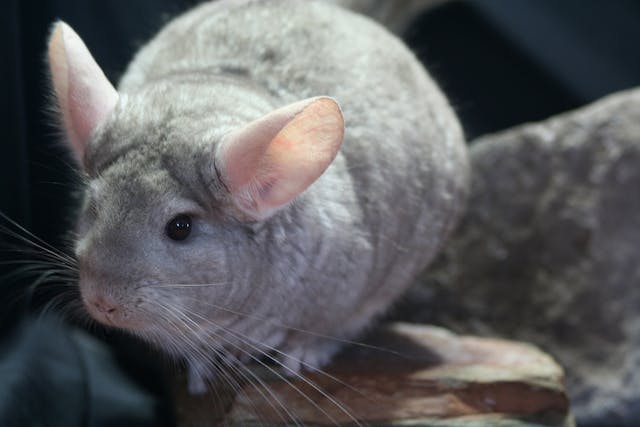 Middle Ear Infection in Chinchillas - Symptoms, Causes, Diagnosis, Treatment, Recovery, Management, Cost