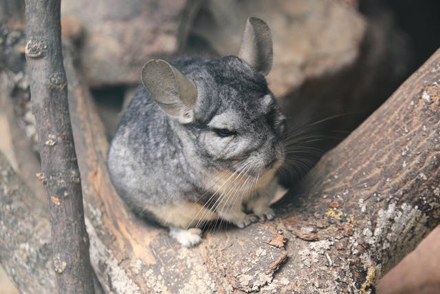 Neurological Protozoa Infection in Chinchillas - Symptoms, Causes, Diagnosis, Treatment, Recovery, Management, Cost