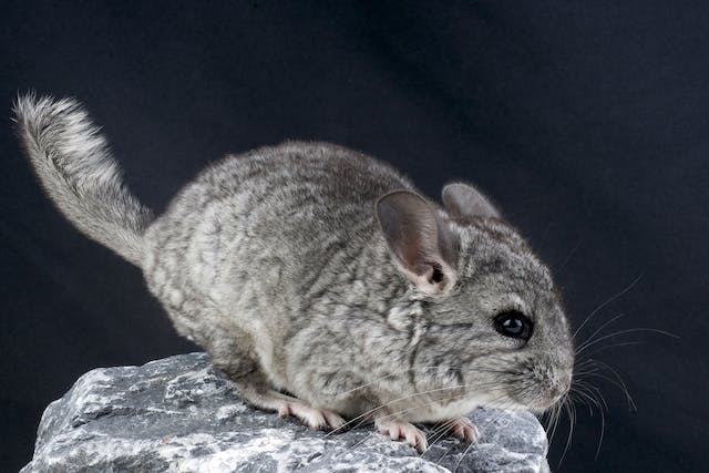 Pneumonia in Chinchillas - Symptoms, Causes, Diagnosis, Treatment, Recovery, Management, Cost