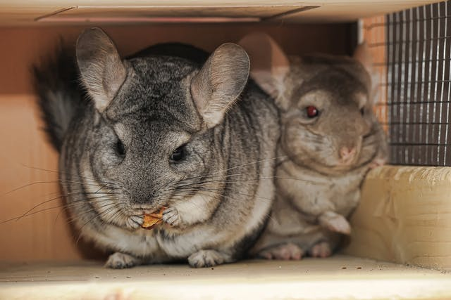 Protozoan Infections in Chinchillas - Symptoms, Causes, Diagnosis, Treatment, Recovery, Management, Cost