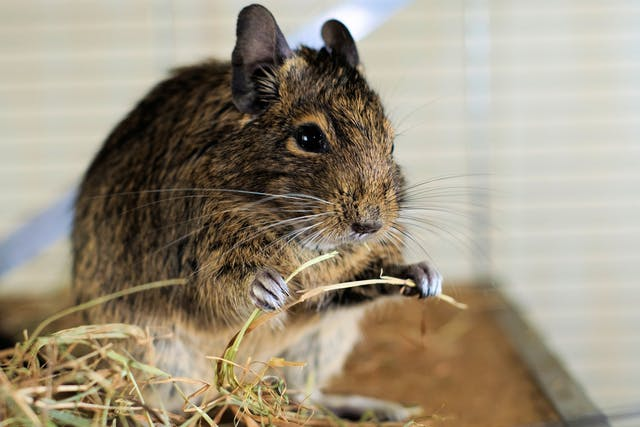 Pseudomonas aeruginosa Bacterial Infection in Chinchillas - Symptoms, Causes, Diagnosis, Treatment, Recovery, Management, Cost