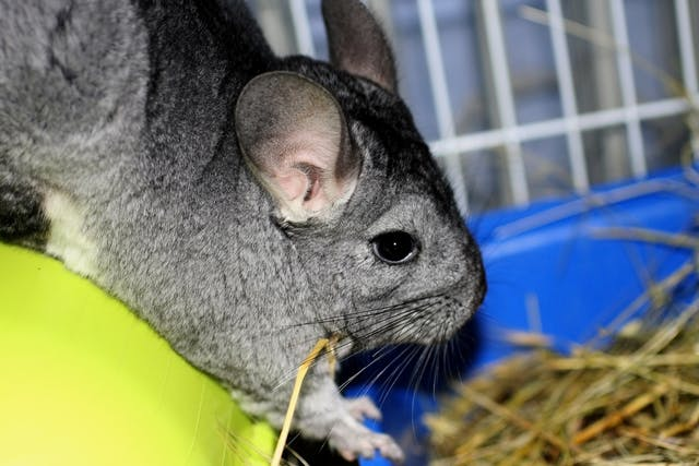 Pus in the Uterus in Chinchillas - Symptoms, Causes, Diagnosis, Treatment, Recovery, Management, Cost