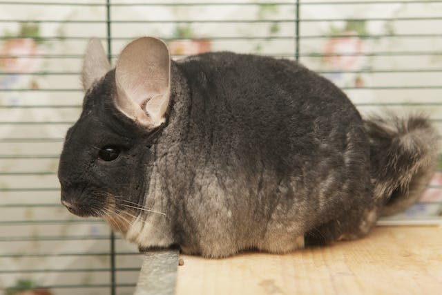 Roundworms in Chinchillas - Symptoms, Causes, Diagnosis, Treatment, Recovery, Management, Cost