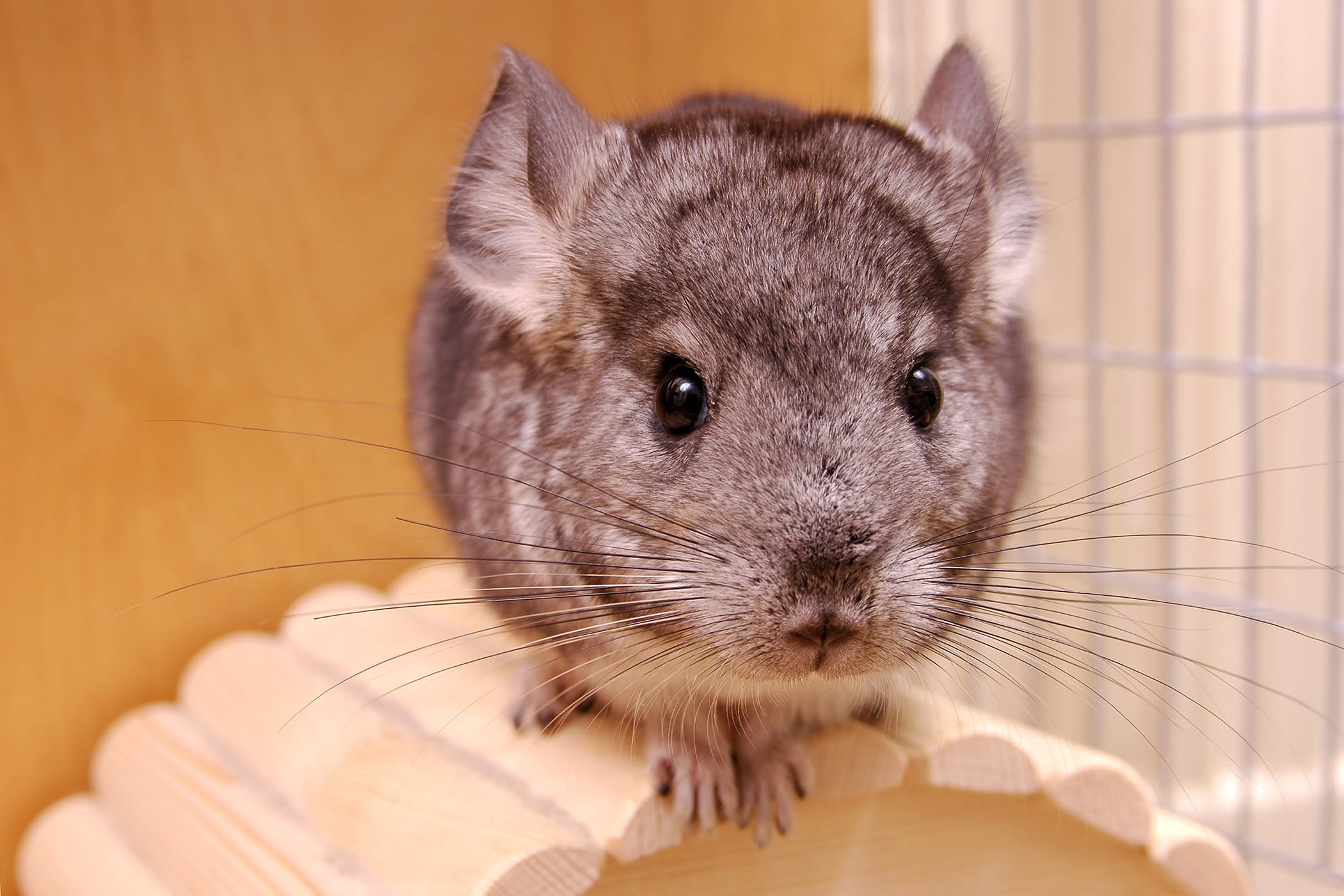stomach ulcers in chinchillas