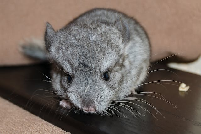 Upper Respiratory Tract Infection in Chinchillas - Symptoms, Causes, Diagnosis, Treatment, Recovery, Management, Cost