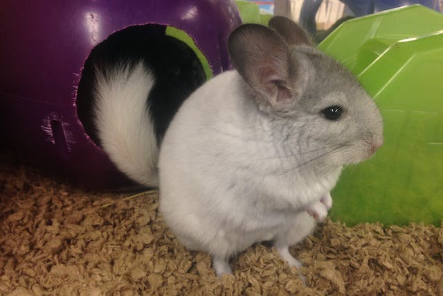 Vitamin B Complex Deficiency in Chinchillas - Symptoms, Causes, Diagnosis, Treatment, Recovery, Management, Cost