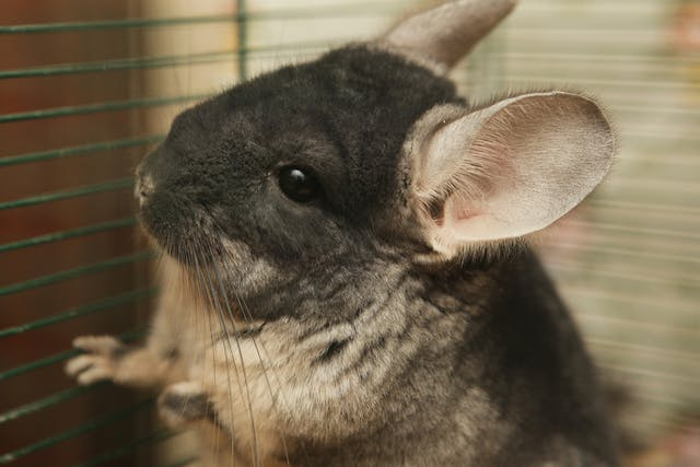 Yersinia Bacterial Infection in Chinchillas - Symptoms, Causes, Diagnosis, Treatment, Recovery, Management, Cost