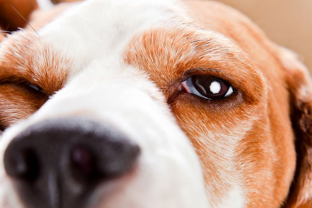 Abnormal Eyelid in Dogs - Symptoms, Causes, Diagnosis, Treatment, Recovery, Management, Cost