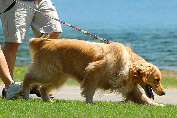Abnormal Gait in Dogs - Symptoms, Causes, Diagnosis, Treatment