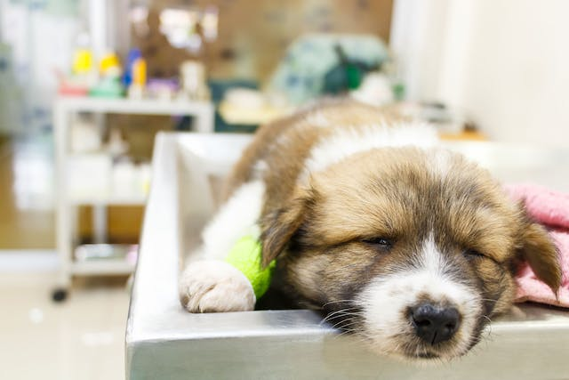 Abnormal Protein Production in Dogs - Symptoms, Causes, Diagnosis, Treatment, Recovery, Management, Cost