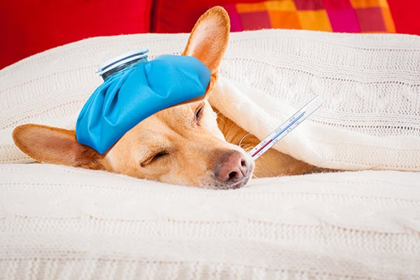 Acute Cystitis in Dogs - Symptoms, Causes, Diagnosis, Treatment, Recovery, Management, Cost